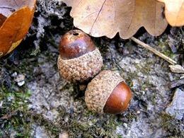 acorns-502856_640