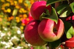 apple-1621631_640