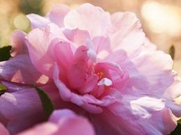 camellia-418380_640