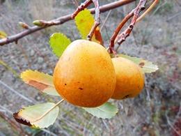 loquat-winter-1062796_640