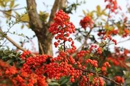 red-berries-473436_640