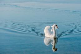 swan-938242_640