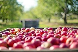 apples-1004886_640