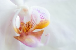 orchid-726975_640