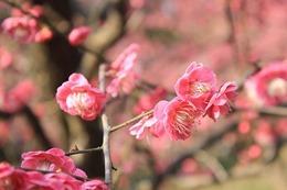 plum-blossom-89531_640