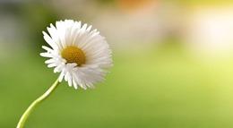 daisy-780780_640