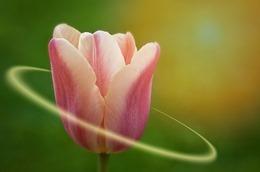 tulip-788384_640
