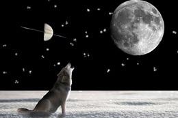 wolf-697736_640