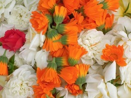 carnation-423278_640
