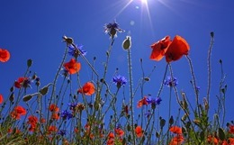 field-of-poppies-807871_640