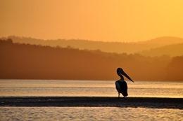 pelican-1327004_640