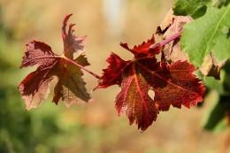 wine-leaf-1748731_640
